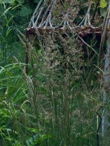 Zoom calamagrostis pergola July