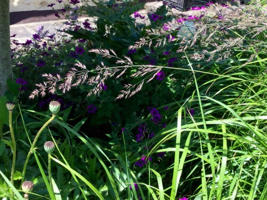 Zoom calamagrostis panicles July