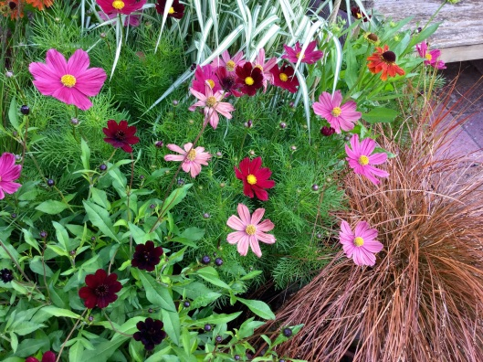 Cosmos dark reand fading to pink