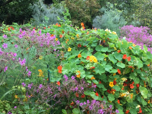 Nasturtium hedge  July