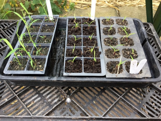 Miscanthus seedlings