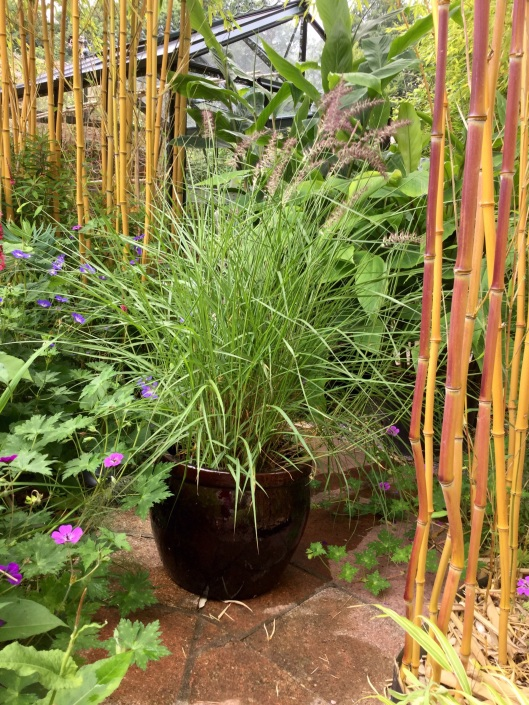 Pennisetum Karley Rose in a pot