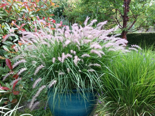Blue pot pennisetum orientale July