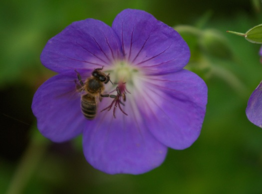 CW geranium Rozanne bee