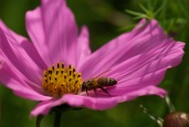 CW cosmos bee July 2014