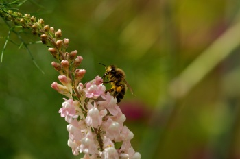 CW linaria bee July 2014