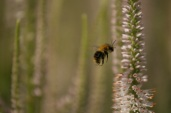CW veronicastrum bee in flight July 2014