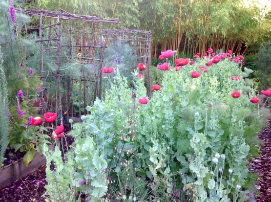 Poppies pergola morning July
