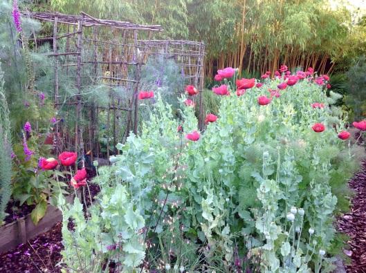 Poppies pergola morning July
