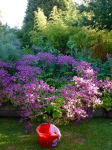 Geranium Palmatum mop bucket broad beans lost behind