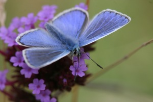 Common blue male butterfly