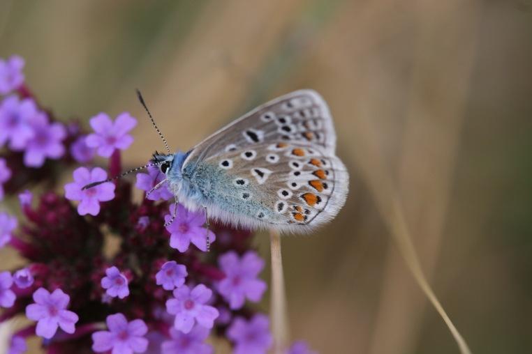 common blue male on verbena bonariensis August