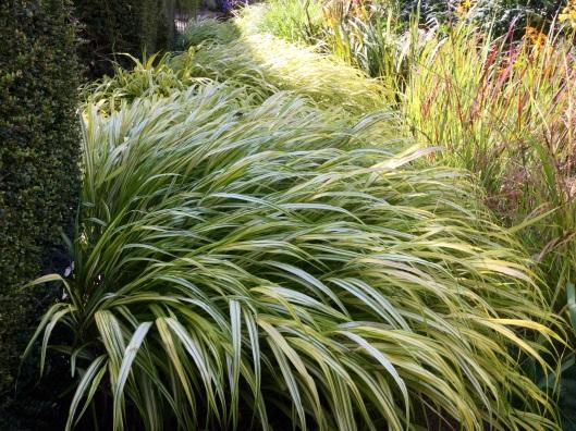 Variegated hakone grass