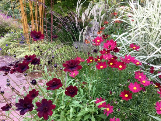 Dark flowered chocolate cosmos