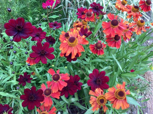 Helenium Moorheim beauty and chocolatecosmos
