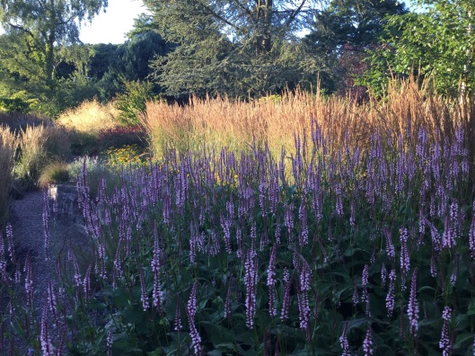 Blue glow of pink Persicaria in evening light
