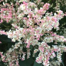 Pink flush August