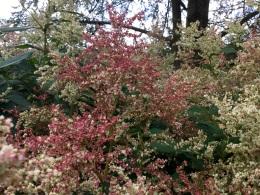 Red bronze flush autumn