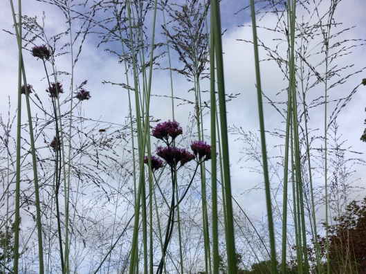 Molinia and verbena against blue sky August