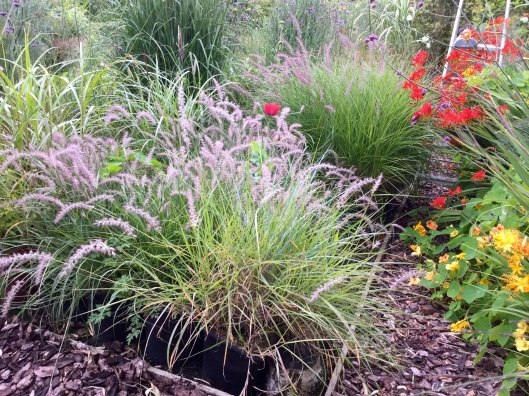 Pennisetum orientale and Karley Rose nursery July