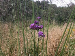 Verbena bonariensis August