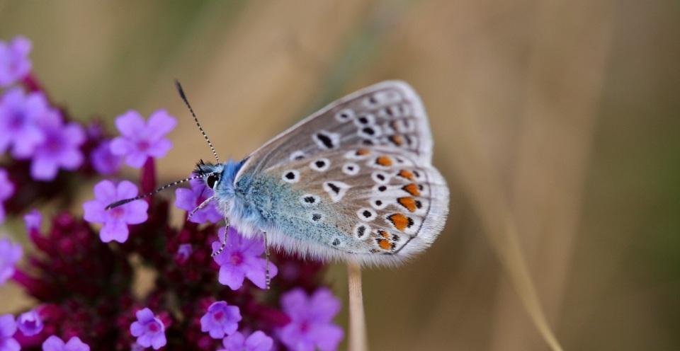 Common blue butterfly meadow