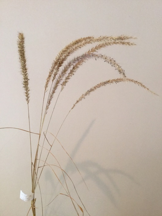 Dried flowers of Pennisetum Fairy Tails