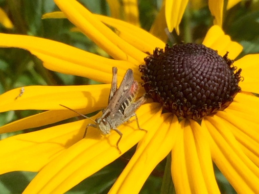 Grass hopper on rudbeckia