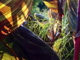 Canna leaves contrasted with feathery muhlenbergia dumosa