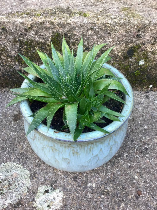 Grandma's succulent