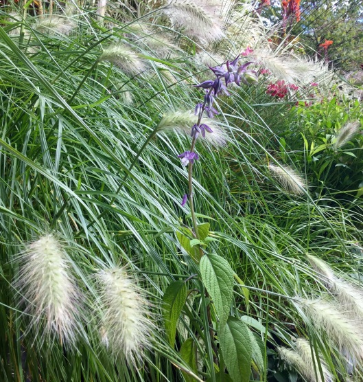 Salvia 'Phyllis' Fancy' and Pennisetum villosum