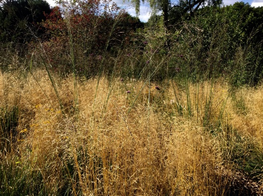 Molinia rising above deschampsia