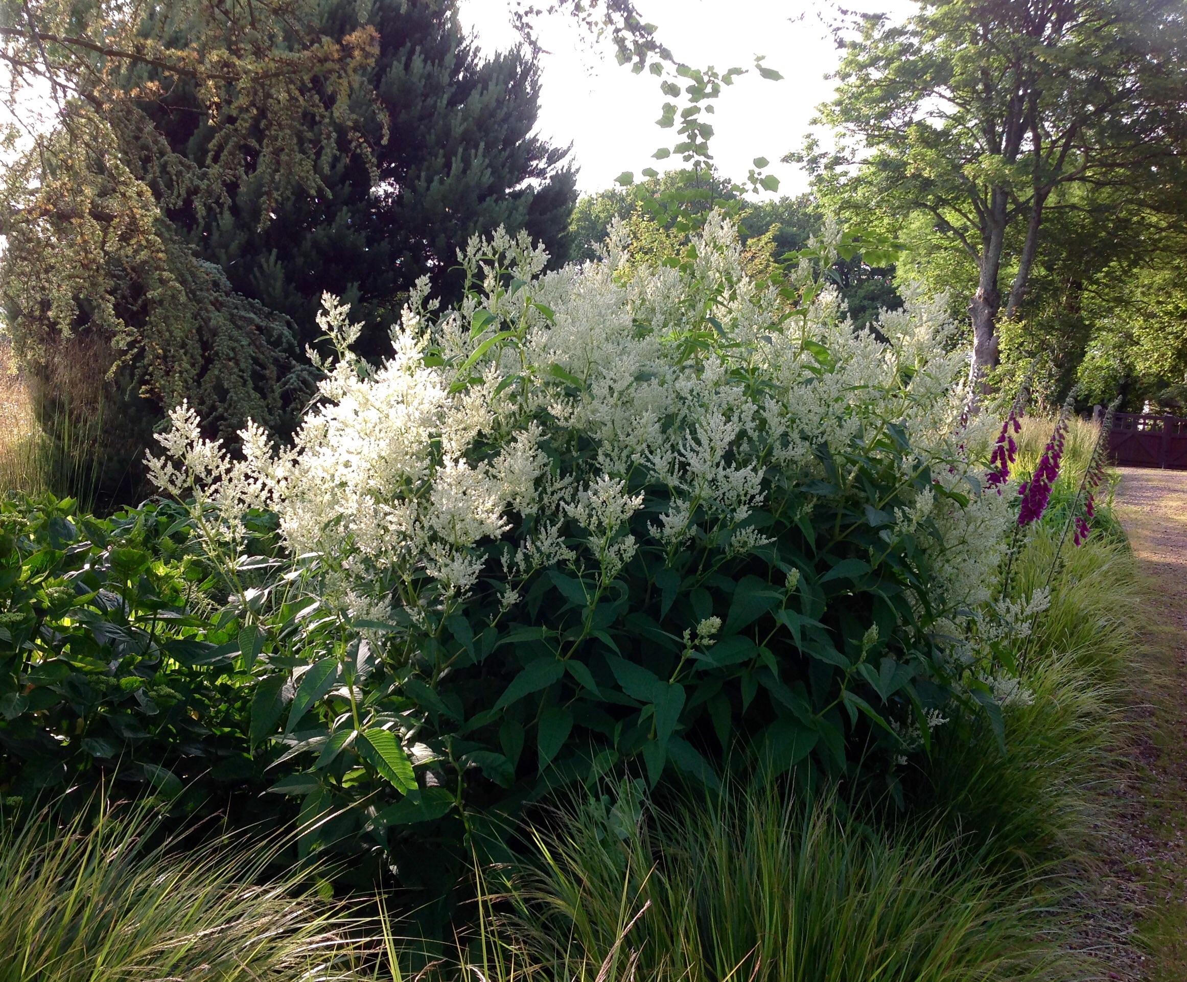 Persicaria Alpina Synpolymorpha Barn House Garden
