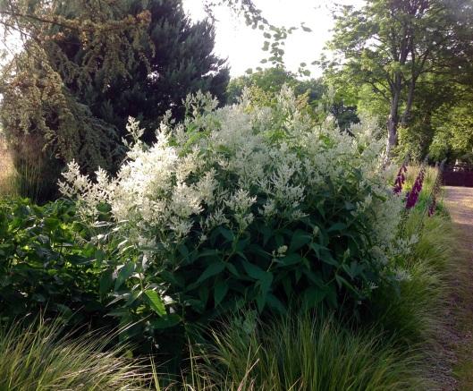 Pesicaria Polymorpha White fleecy flowers June