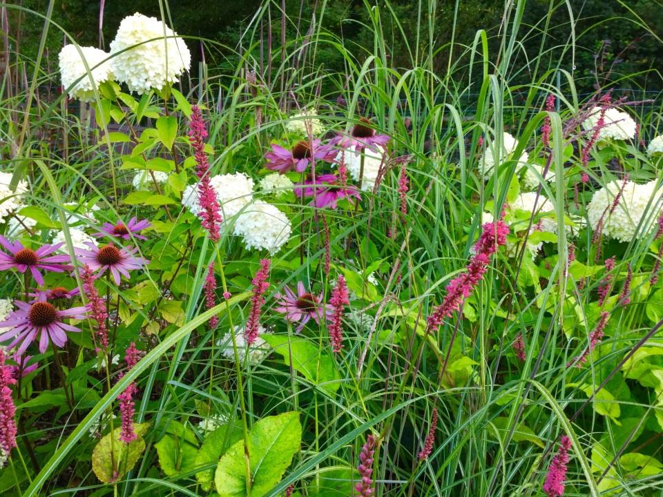 Barn house garden Persicaria echinacea hydrangea