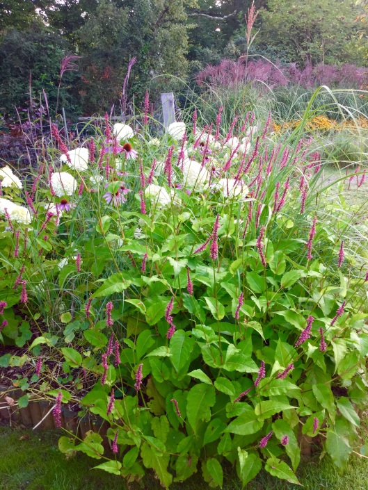 Mixed planting hydrangea Persicaria and Miscanthus