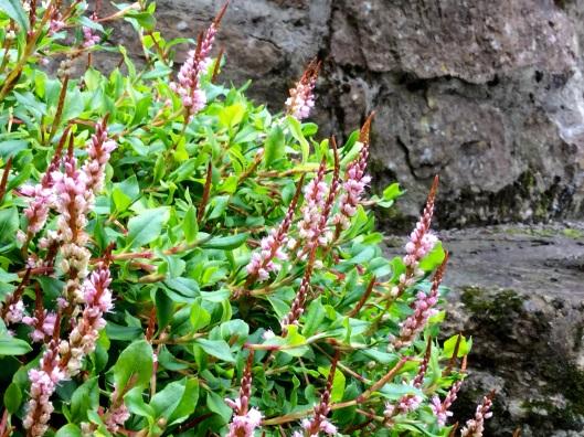 Persicaria vacciniifolia flowers