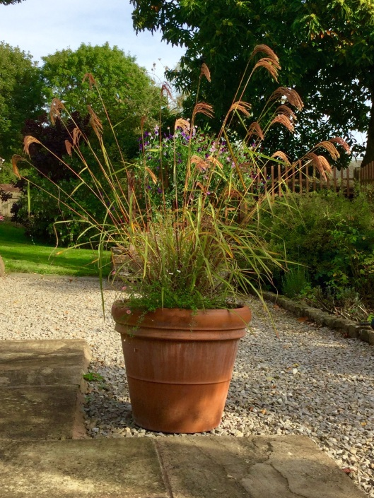 Miscanthus nepalensis in pot