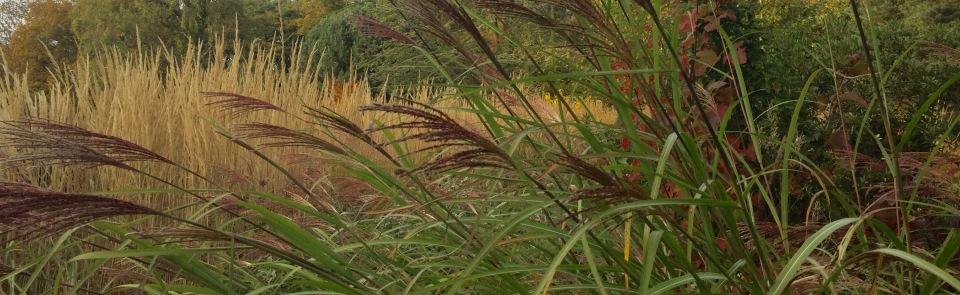 Miscanthus sinensis 'Kascade'