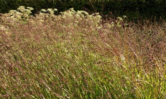 Wind and sun on red tints to Panicum 'Shendandoah'