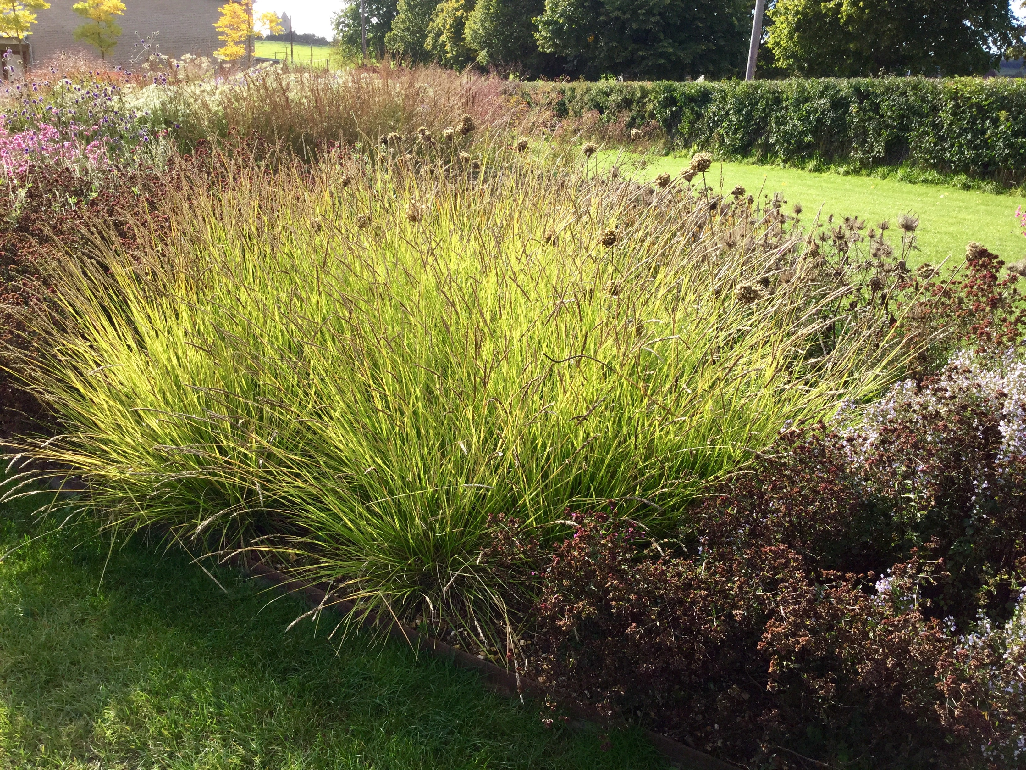 Sesleria autumnalis barn house garden for Designing with grasses