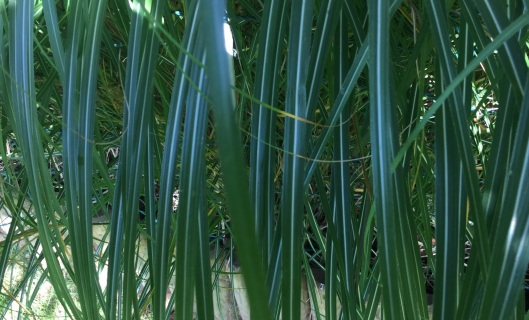 Silver median tripped Miscanthus leaves