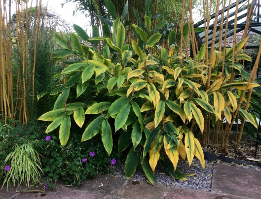 Ginger lilies autumn foliage
