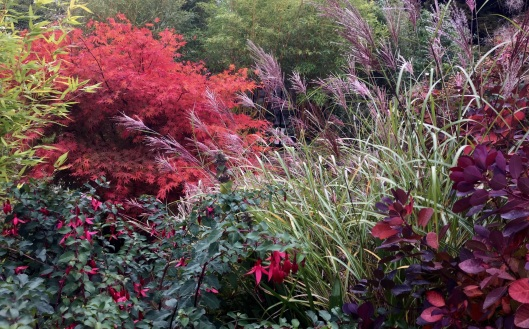 Acer with Miscanthus in foreground