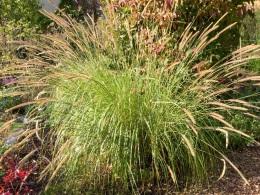 Pennisetum macrourum October