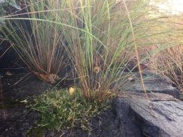 Eragrostis seedling