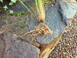 Eragrostis seedling roots
