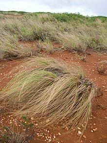 Wild form of Eragrostis curvula
