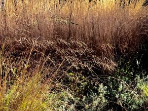 Eragrostis Totnes Burgundy flowers