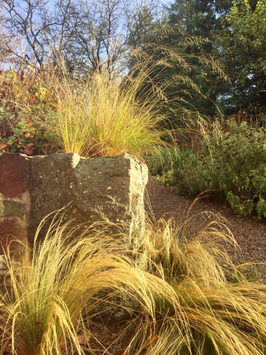 Eragrostis curvula above cornerstone drying out after heavy rain